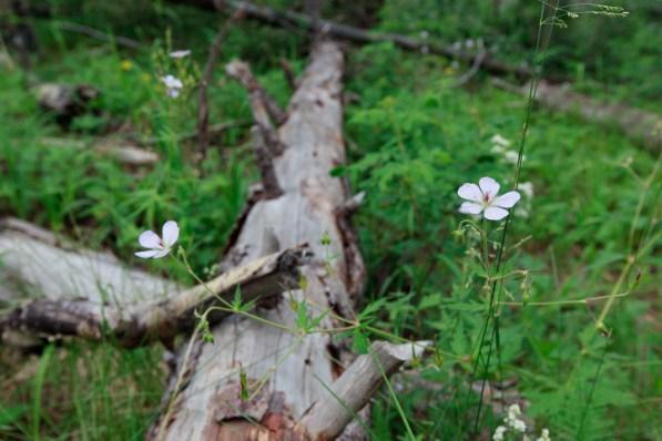 Fallen log and flower detail on Hamilton Mesa Trailhead