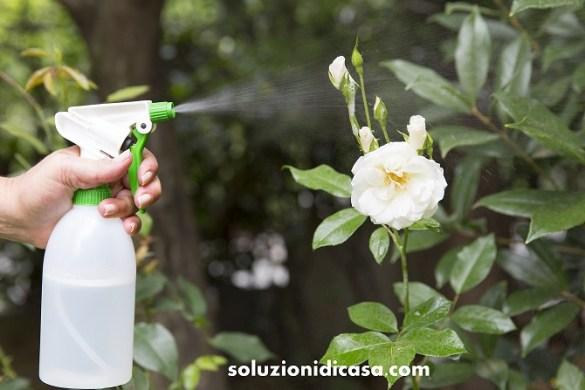 Come sconfiggere gli afidi delle rose con prodotti naturali