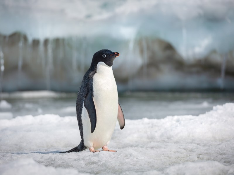 Steve in Disneynature's Penguins.