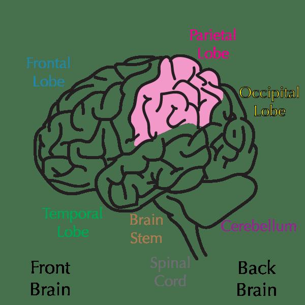dogfish shark diagram with labels danfoss vlt hvac wiring human brain cake ideas and designs