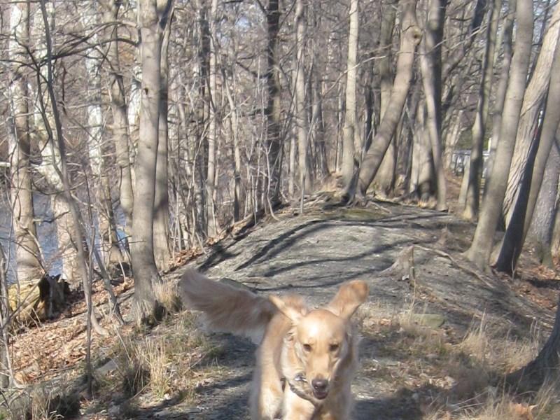 Golden Retriever running in the woods.