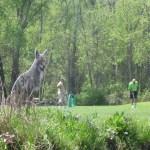 Wordless Wednesday – Golfing Coyote