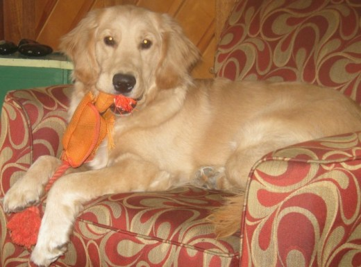 Golden Retriever with an orange stuffed duck in her mouth