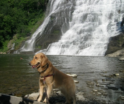 Honey the Golden Retriever poses in front of Ithaca Falls.
