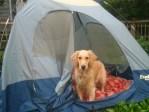 Honey the Golden Retriever stands in a tent.