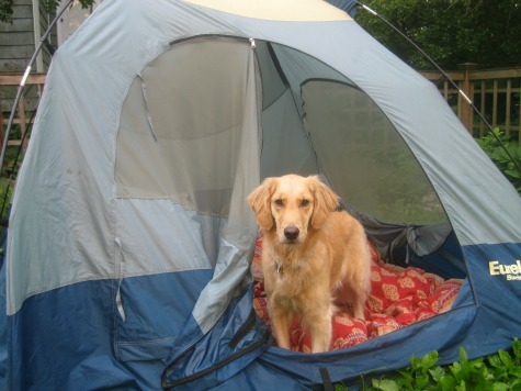 Honey the Golden Retriever stands in a tent.