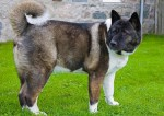 Akitas are ancient dogs from Japan.