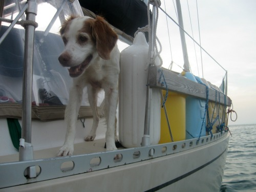 Loki is a dog cruising on the sailboat Infinity.