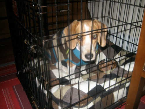 Ginny the foster dog eats in her crate.
