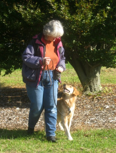 Honey the golden retriever walks nicely on leash.