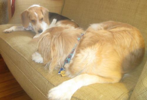 Honey the golden retriever needs nurturing after foster dog Ginny goes home.