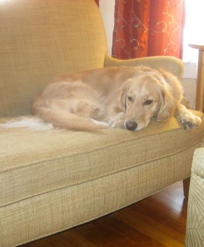 Honey the golden retriever thinks about dog blogs.