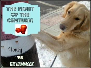 Honey the boxing golden retriever takes on The Hammock.
