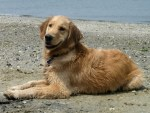 Honey the golden retriever on the beach at Cape May.