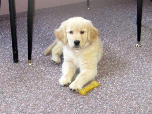 Honey the golden retriever puppy goes to work.