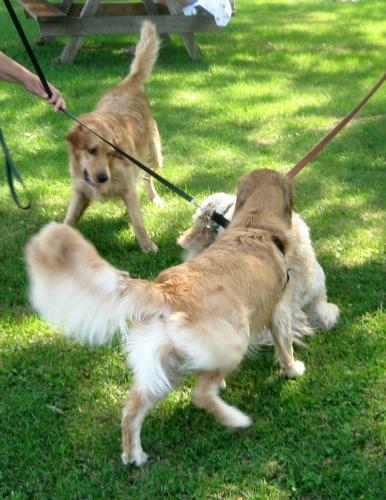 Honey the golden retriever greets dogs on-leash.