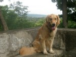 Honey the golden retriever sits with her tongue hanging out.