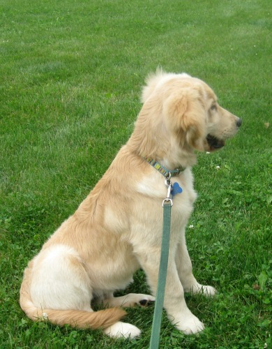 Honey the golden retriever on her leash.