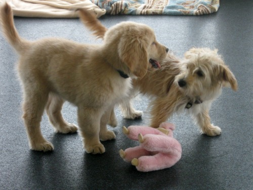 Honey the golden retriever puppy makes a friend at class.