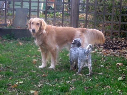 Zoe the foster puppy nips Honey the golden retriever.