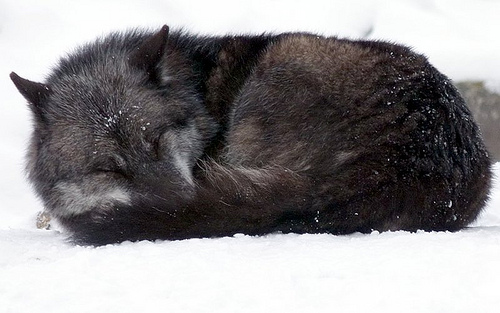 A black wolf is sleeping in the snow.