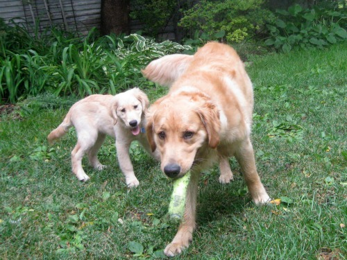 Honey the golden retriever chases Riley with her toy.