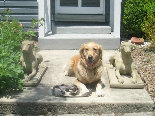 Honey the golden retriever lies down with stoned dogs.