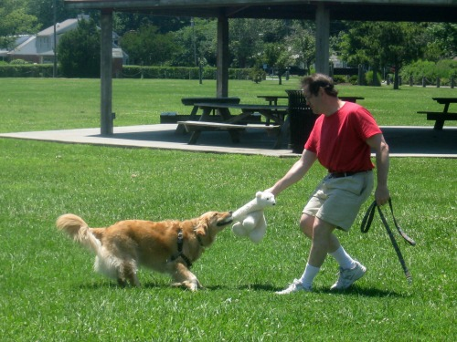 Honey the golden retriever plays tug with her Bear and Mike.