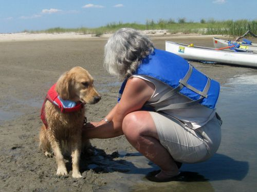 Honey the golden retriever getting her life jacket on.