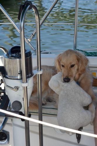 Honey the golden retriever makes her stuffed bear first mate.
