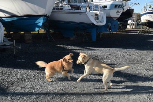 Honey the golden retriever plays with Moose the Labrador retriever dock dog.