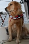 Honey the golden retriever looks off the sailboat.