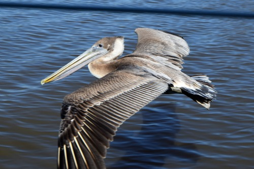 Pelican flying by the boat in the ICW of South Carolina.