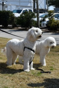 Jaxson and Harley the golden doodles.