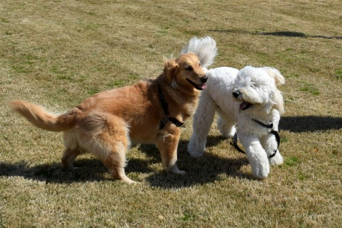 Honey the golden retriever plays with Jaxson the golden doodle.