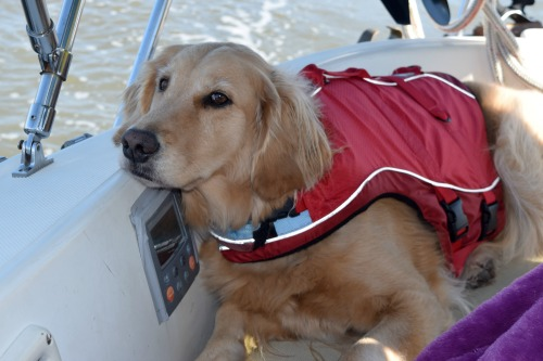 Honey the golden retriever yearns for friends on the boat.