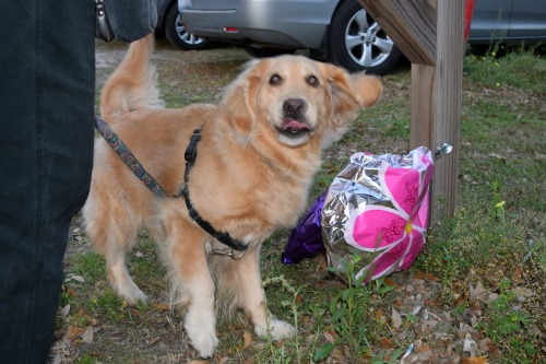 Honey the golden retriever with scary balloons.