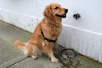 Honey the golden retriever wants a Mutt-garita.