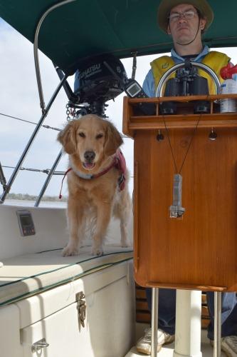 Honey the golden retriever has boat dog adventures.