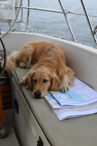 Honey the golden retriever sleeps on chart in sailboat cockpit.