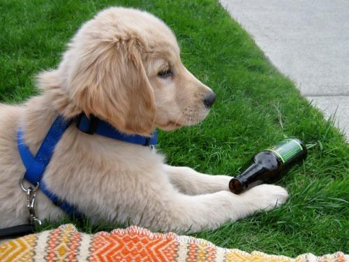 Honey the golden retriever puppy watches her first parade.