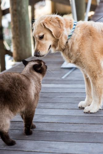 Honey the golden retriever meets the dock cat.