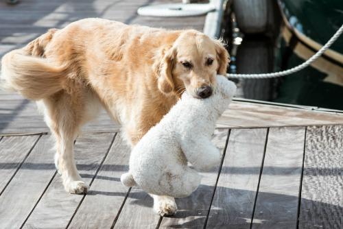 Honey the golden retriever holds her bear.