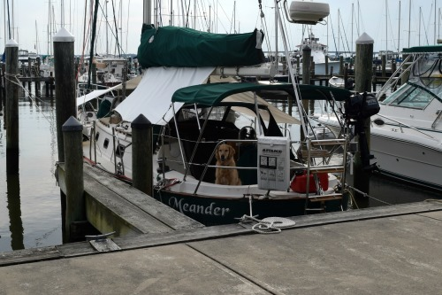 Honey the golden retriever flirts on the sailboat Meander.