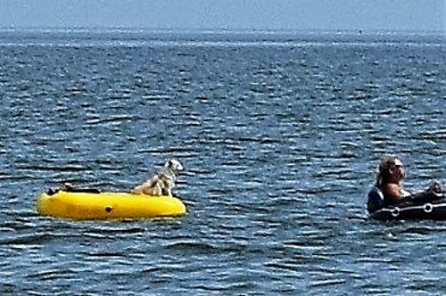 Dog being towed off New Point Comfort Bight.