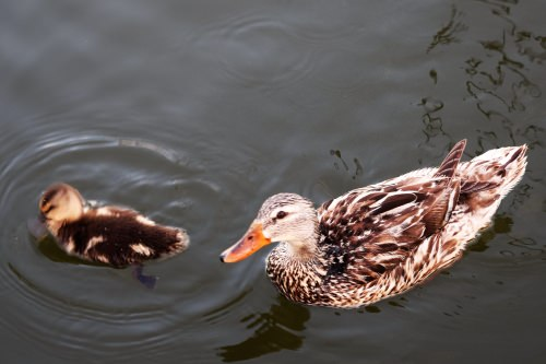 Mama and baby duck at Cambridge Marina.