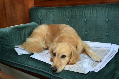 Honey the golden retriever lies down on a chart.