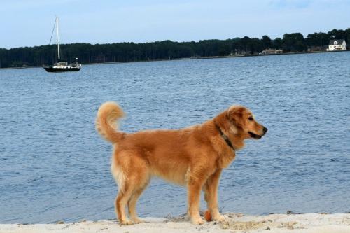 Honey the golden retriever on the beach in Little Bay in Virginia.
