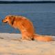 Honey the golden retriever poops on the beach.