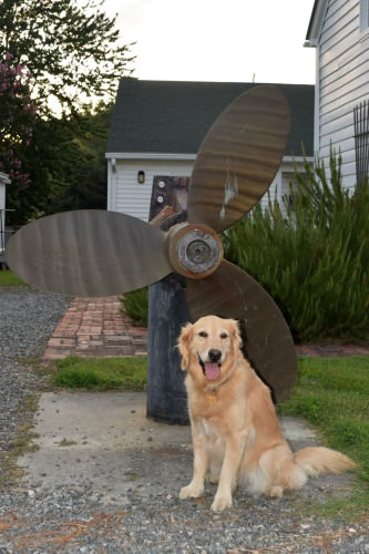 Honey the golden retriever with a large propeller.